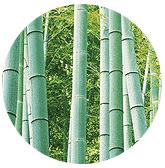 Bamboe, de eerst groeiende plant na de atoombom.
