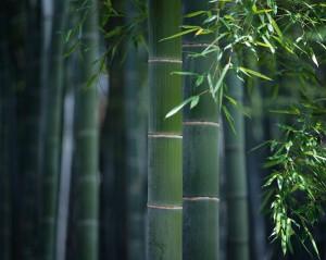 Handgeplukte jonge bamboebladeren zijn de basis voor deze lekkere biologische thee.